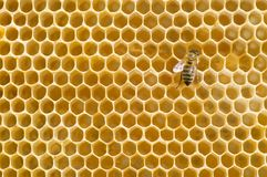 Honeybee on a comb. Single honeybee on a comb stock photography