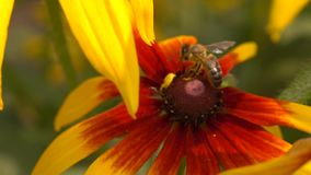 Honeybee crawling on yellow coneflower and flying away. Super slow motion macro video, 250 fps stock video footage
