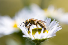 Honeybee on a daisy flower. Close-up view of a honeybee on a white daisy flower Stock Photo