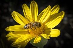Honeybee on Daisy. Macro shot of Honeybee feeding on a yellow daisy Stock Images