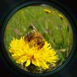 Honeybee on dandelion in objective lens Royalty Free Stock Photo