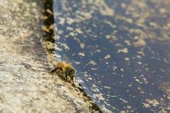 Honeybee Drinking Water Stock Images