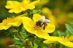 Honeybee. Eating bee in the garden Royalty Free Stock Photos