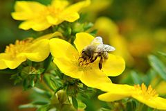Honeybee Royalty Free Stock Photos