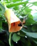 Honeybee Royalty Free Stock Photo