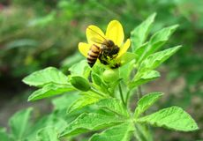 Honeybee feeding on a wild flower royalty free stock images