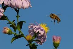 Honeybee in flight Stock Photos