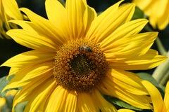 Honeybee in flower Royalty Free Stock Images