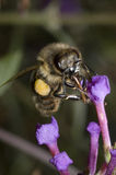 Honeybee on Flower. Honeybee landing on and pollinating flower Royalty Free Stock Images