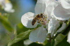 Honeybee on the flower. Honeybee collecting nectar and pollen on the apple-tree flower stock photo