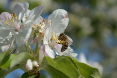 Honeybee on the flower. Honeybee collecting nectar and pollen on the apple-tree flower Stock Images