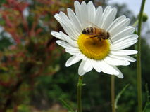 Honeybee on flower. Honeybee landing on a flower stock image