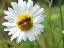 Honeybee on flower. Honeybee landing on a flower royalty free stock photography
