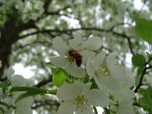 Honeybee on flower. Honeybee landing on a flower royalty free stock image