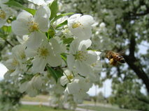 Honeybee on flower. Honeybee landing on a flower stock images