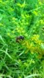 Honeybee Flower Pollinition Stock Photo