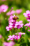 Honeybee and flowers. A honeybee and some purple flowers stock image