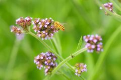 Honeybee among flowers. A honeybee fly among flowers chrysanthemum Stock Photo