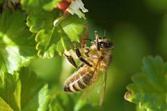 Honeybee. Flying bee in the garden Royalty Free Stock Photos