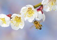 Honeybee flying Stock Photography
