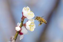Honeybee flying Stock Image