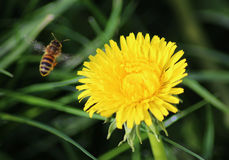 Honeybee flying on Dandelion Royalty Free Stock Images