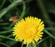 Honeybee flying on Dandelion Stock Image