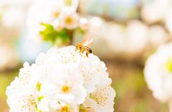 Honeybee flying at a flowering cherry tree.  Stock Image