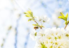 Honeybee flying at a flowering cherry tree.  Royalty Free Stock Photos