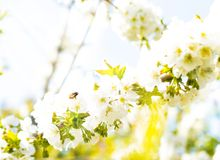 Honeybee flying at a flowering cherry tree.  Royalty Free Stock Images
