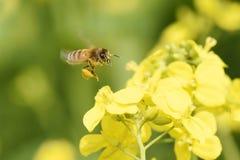 Honeybee flying Stock Images