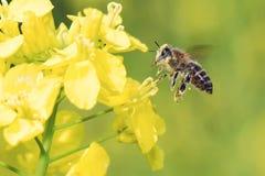 Honeybee flying Stock Photo
