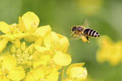 Honeybee flying Stock Photography