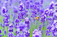 Honeybee flying in the lavender farm. Stock Images