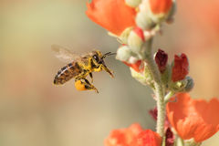 Honeybee Flying to Desert Mallow Stock Image