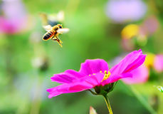 Honeybee flying to a flower. Royalty Free Stock Photos