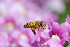 Honeybee. Flying to pink Nemesia flower Royalty Free Stock Image