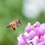 Honeybee. Flying to pink nemesia flower Stock Photos