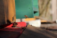 Bee while flying. A honeybee while flying to it`s colony Stock Photography
