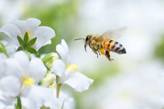 Honeybee. Flying to white Nemesia flower royalty free stock photography