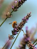 Honeybee on french lavender. Photograph of a bee on a purple lavender flower, which is often used in the making of perfumes and aromatherapy Royalty Free Stock Photos