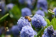Honeybee with full corbiculae royalty free stock photos