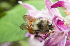 Honeybee Gathering Nectar and spreading pollen on purple flower Royalty Free Stock Images