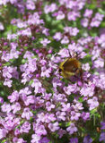 Bumblebee gathering pollen from spring thyme stock photo