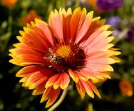Honeybee on gerbera Royalty Free Stock Photos