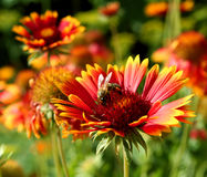 Honeybee on gerbera Royalty Free Stock Photo