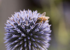 Honeybee on a Globe Thistle Royalty Free Stock Photography