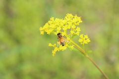 Honeybee on Golden Lace Royalty Free Stock Photography