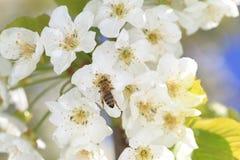 Honeybee harvesting pollen Royalty Free Stock Image