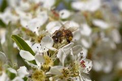Honeybee harvesting pollen Royalty Free Stock Images